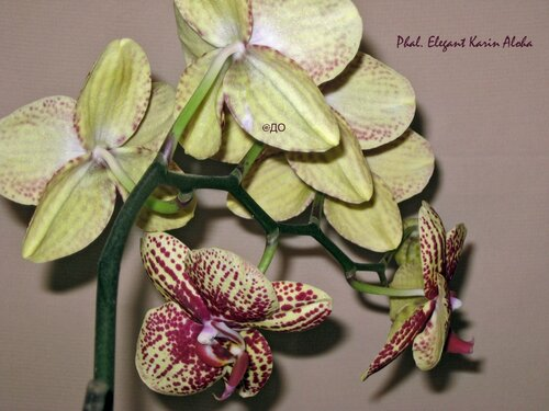 phalaenopsis Elegant Karin Aloha - Цветок с обратной стороны