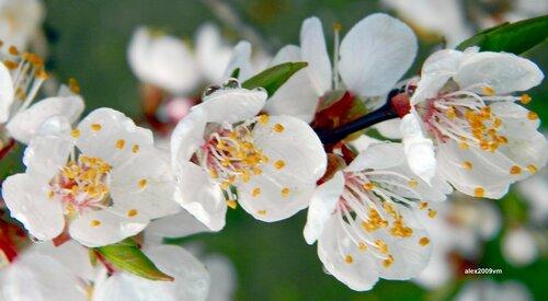 Цветущий абрикос - приход весны душистой
