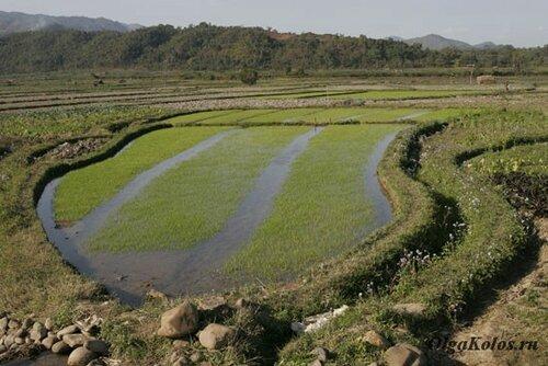 Рисовые поля рядом с Сипо