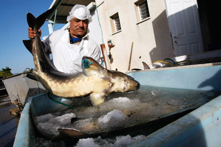 KIBBUTZ DAN, ISRAEL - APRIL 22: An Arab worker carries a live female sturgeon, which could hold as much as two kilograms of roe inside of her, into a caviar processing plant on April 22, 2009 in Kibbutz Dan, Israel. Far from the Caspian Sea, where over f