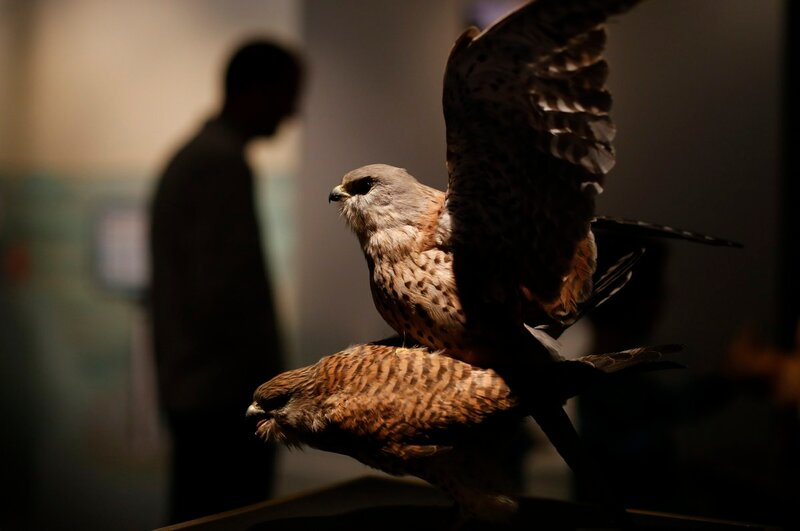 Stuffed copulating kestrels are displayed at exhibition