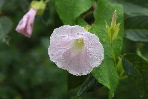 Вьюнок под дождем