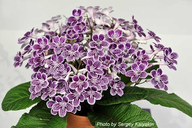 Streptocarpus Polka-Dot Purple (1).JPG