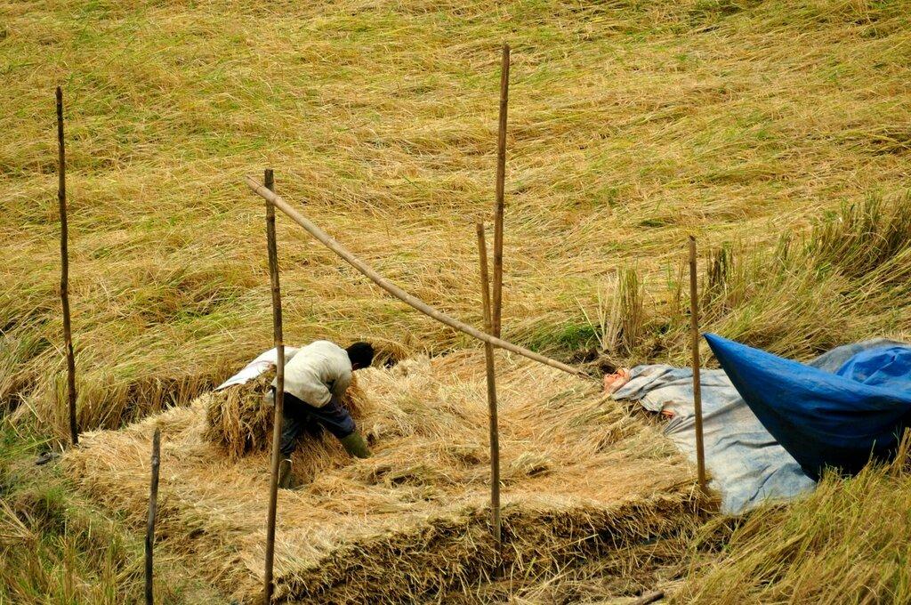 Крестьяне на рисовых полях