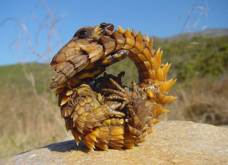 Поясохвост - маленький дракончик