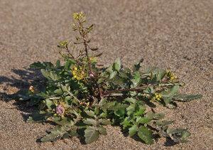 s:травянистые,околоцветник актиноморфный,лепестков 4,c:золотисто-желтые,c:желтые