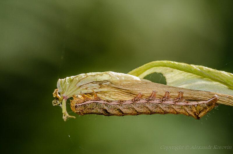 Гусеница совки садовой черноватой