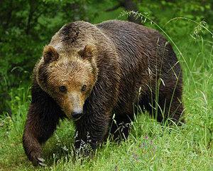 В Еврейской АО с автоматами на медведя - полиция ищет зверя в Биробиджане