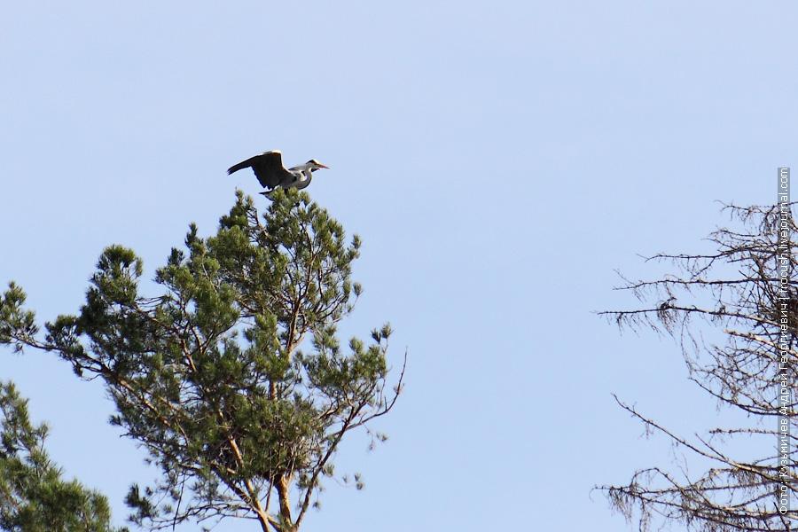 Серая цапля на дереве