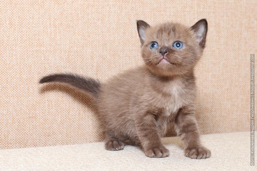 Бомбейский котенок фото