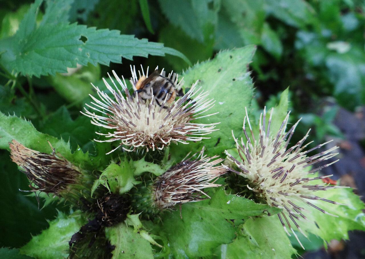 Бодяк огородный (Cirsium oleraceum). Автор фото: Привалова Марина