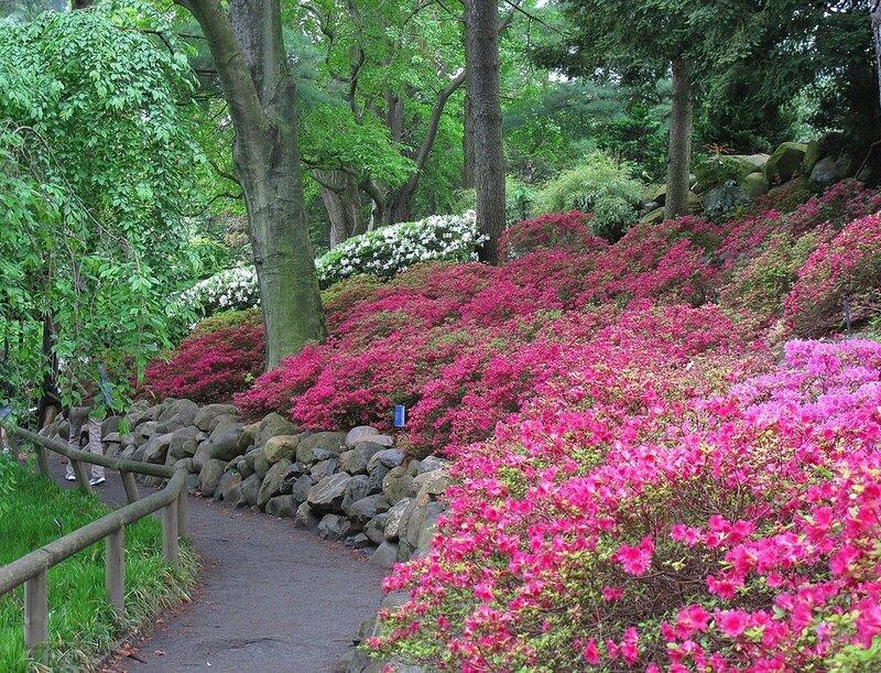 azaleas. Prospect Park, Brooklyn