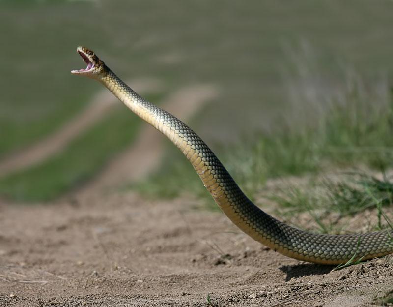Как сфотографировать самую большую змею Европы