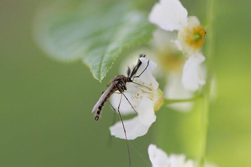 Комар-самец с пышными усами пьёт нектар из цветка бузины