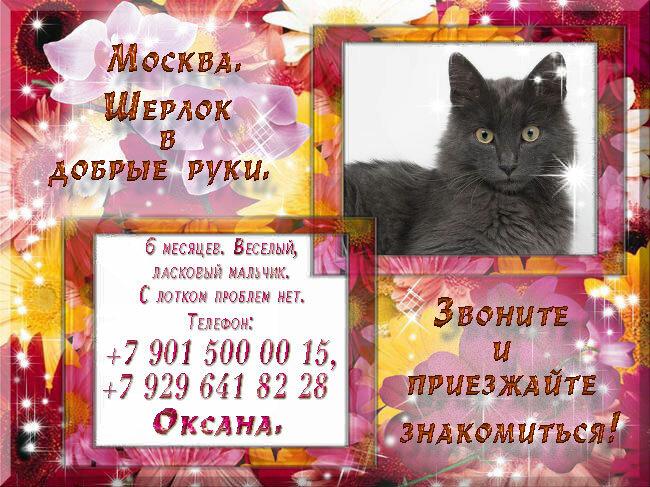 4. Москва. Молодой котик, метис нибелунга - Шерлок в добрые руки.