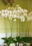 Орхидеи фаленопсис из полимерной глины