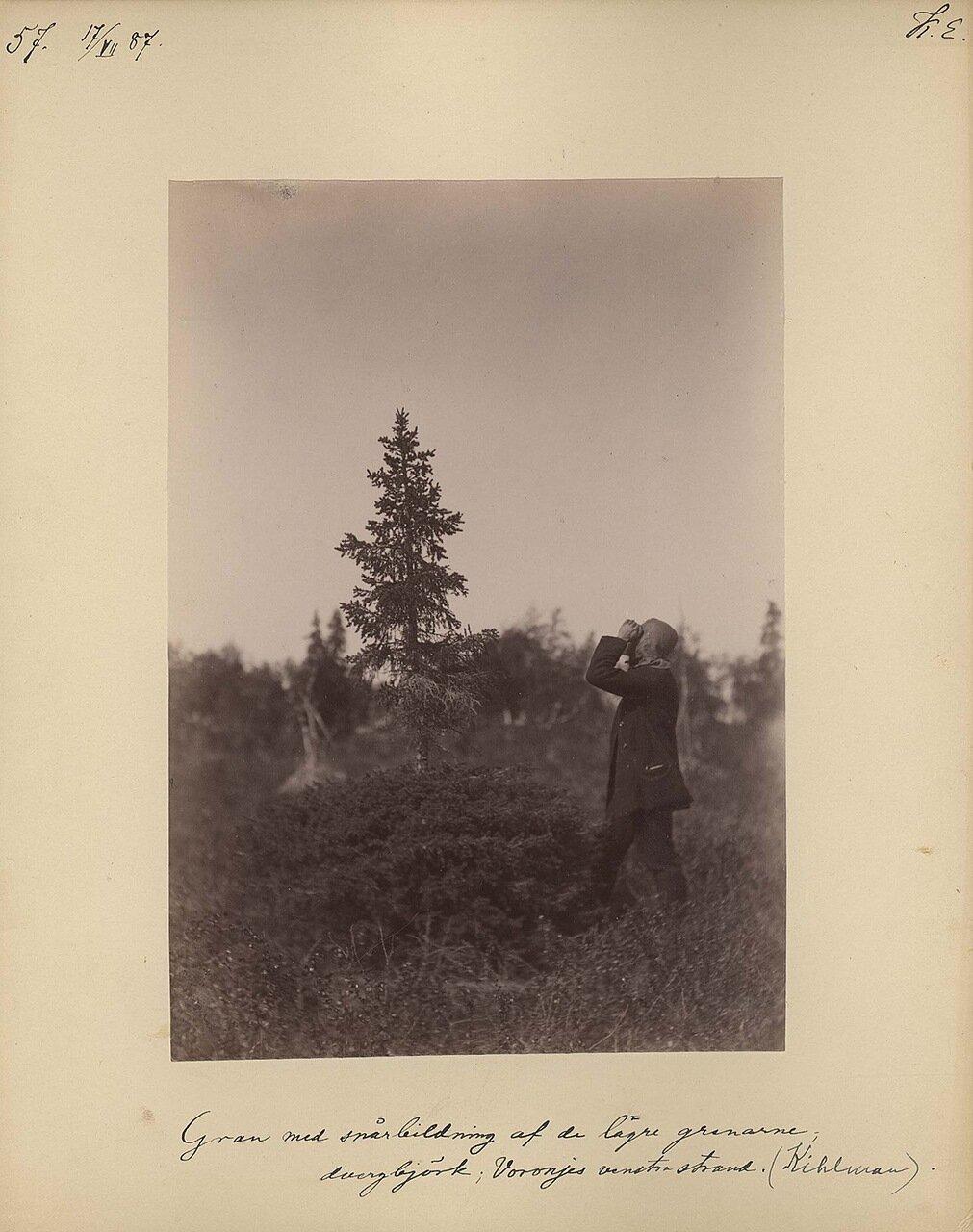 17.7.1887 в 12.00. Деревья на берегу Вороньего острова