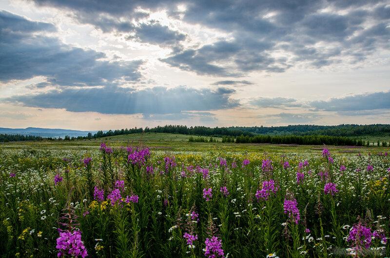 Иван-чай, ромашковое поле