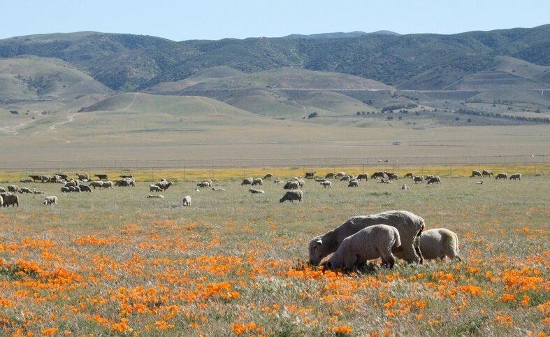 Маковые поля долины Антилоп
