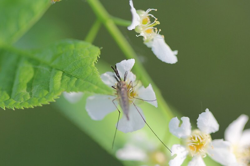 Комар-самец с пышными усами пьёт нектар