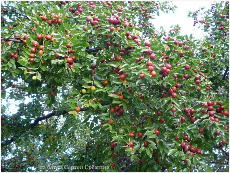 Ветка зизифуса со спелыми плодами