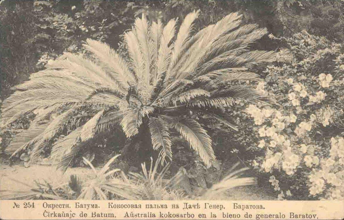 Кокосовая пальма на даче генерала Баратова