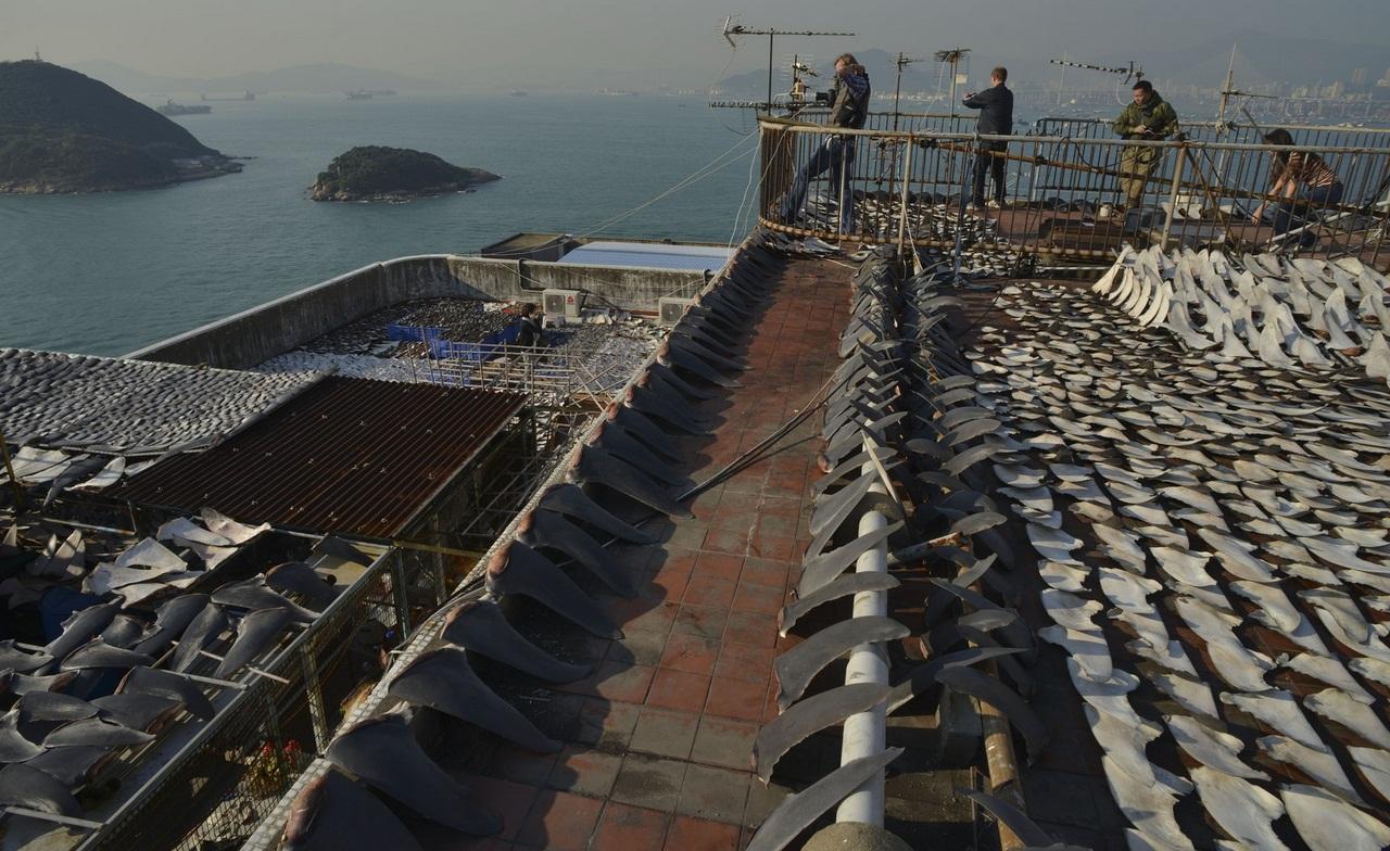 HONG KONG-CHINA-ENVIRONMENT-SPECIES-SHARK-FOOD