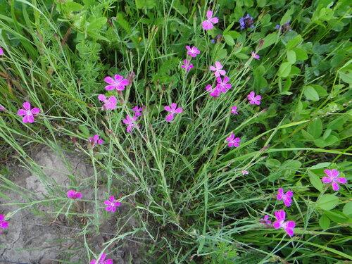 Гвоздика травянка (Dianthus deltoides) Автор фото: Привалова Марина