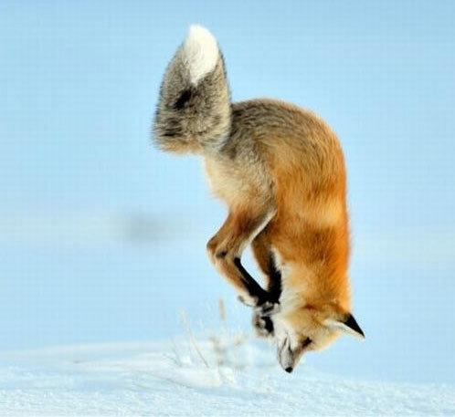 Охота лисы в снегу