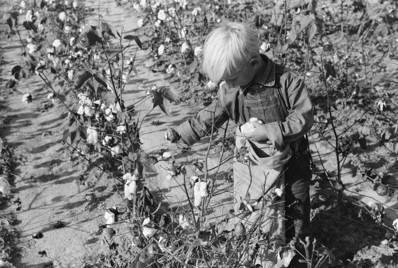 Самый молодой из семейства Джонсонов собирает хлопок, Стейтсвиль, Северная Каролина, 1939