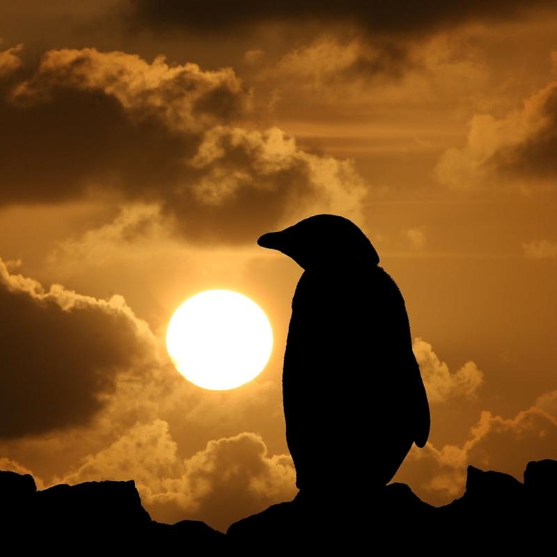 Папуанские пингвины