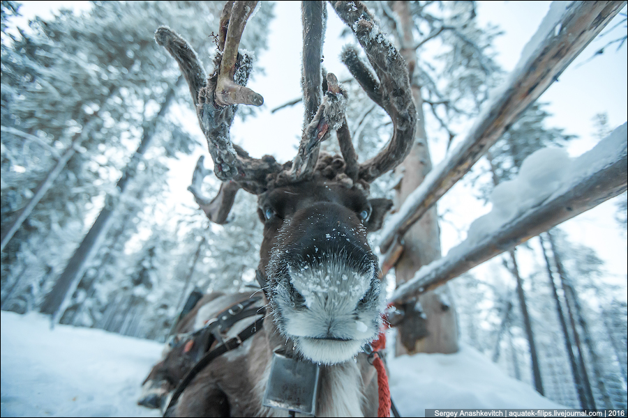 Северный олень / Reindeer