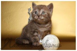 шоколадный серебристый британский короткошерстный кот