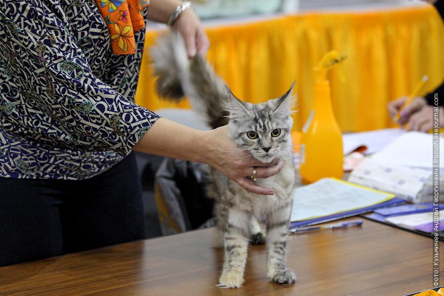 Мейн-кун Кошка Murmurcat Undine Черепаховый пятнистый серебряный