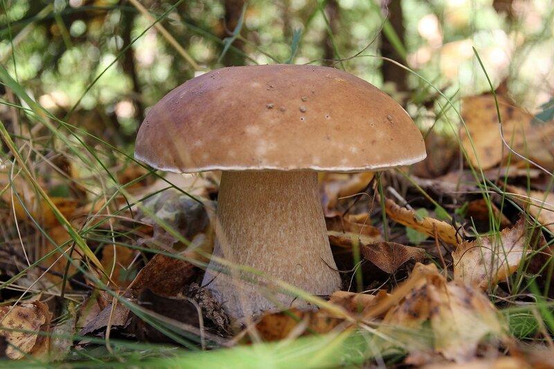 Белый гриб (боровик, Boletus edulis) Img_8130
