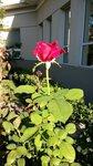 Роза возле больницы