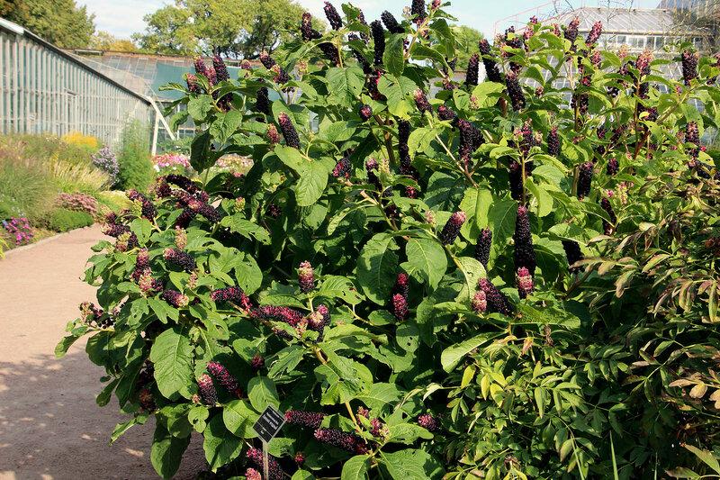 Лаконос американский, или десятитычинковый  - Phytolacca americana = Ph. decandra
