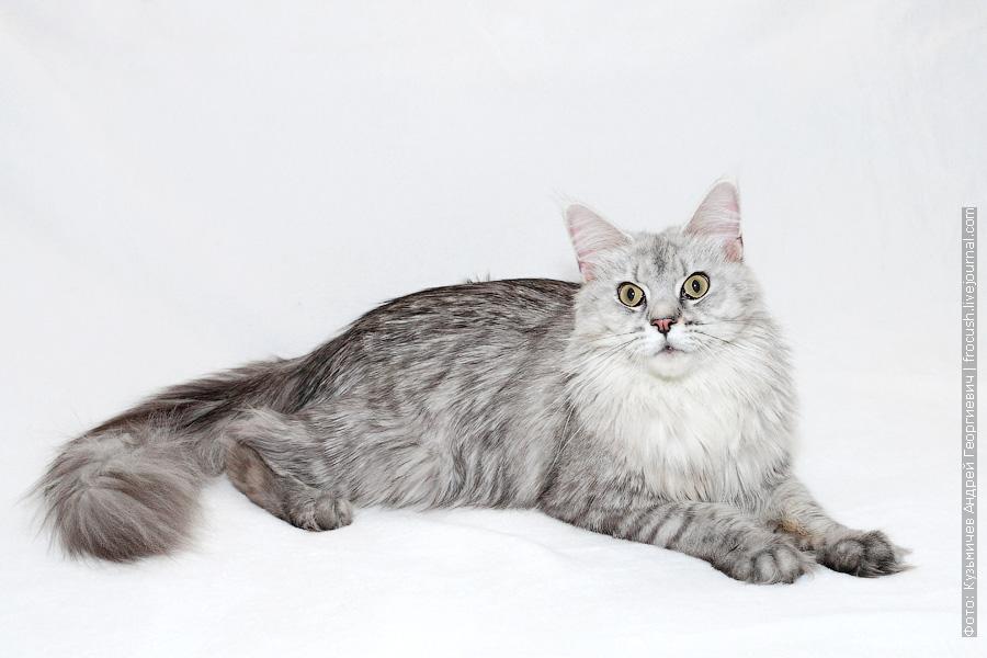 производитель кошка Мейн-кун из питомника в Москве