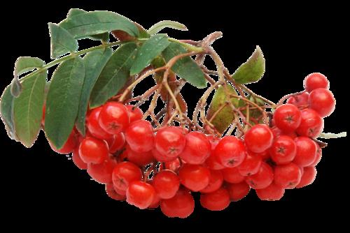 Дерево рябина обыкновенная фото и ботаническое описание
