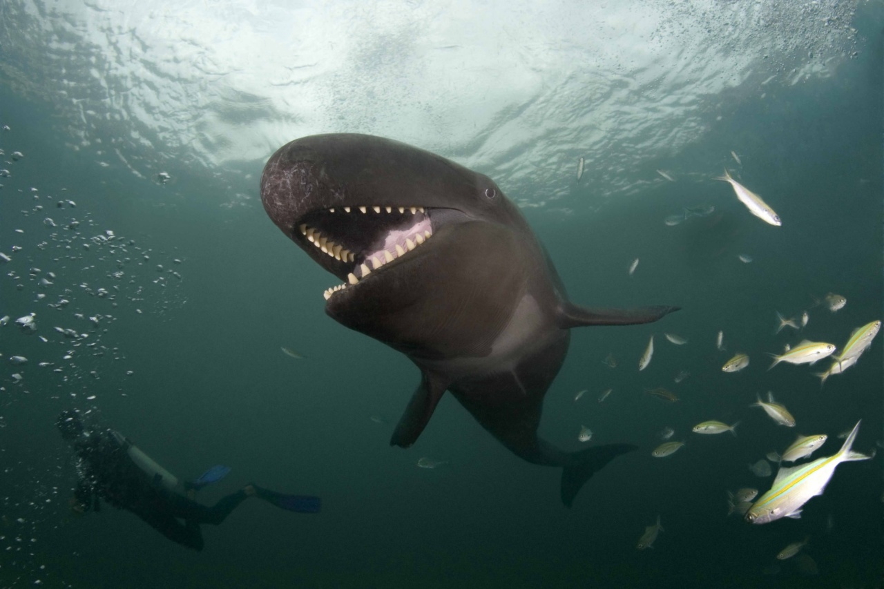 False Killer Whale Beams As he Catches His Lunch