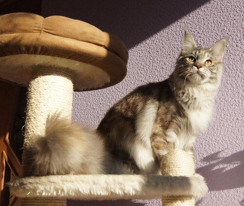 Кошка мейн-кун питомник мейнкунов Zen Garden г. Владивосток