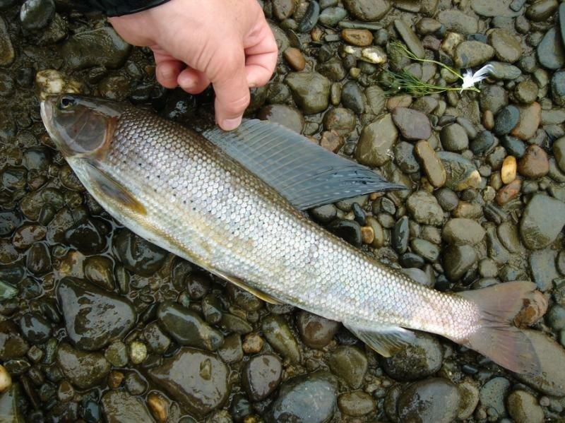 Рыба отличается большим верхним плавником (12.09.2013)