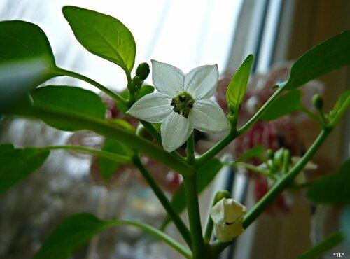 Цветет декоративный перец
