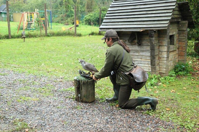 Музей соколиной охоты, ястреб-тетеревятник