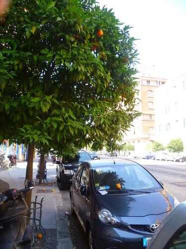 Италия. Рим. Апельсиновые деревья на улице (Italy. Rome. Orange trees in the street).