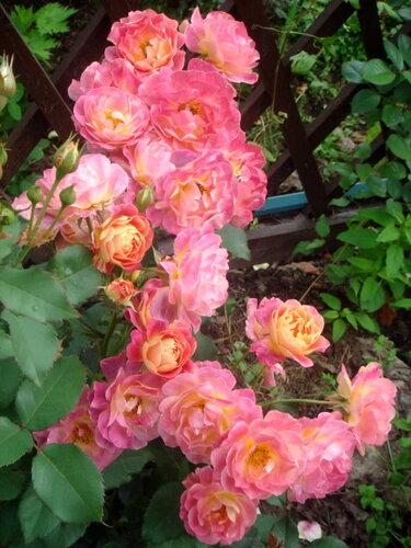 Роза приёр де сан-косм