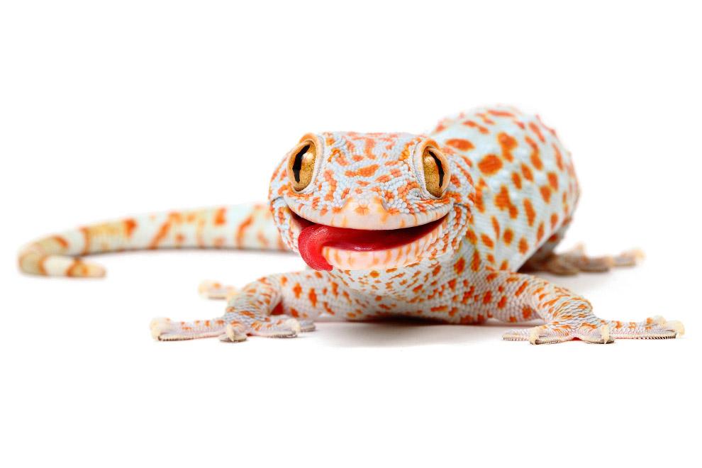 15. Еще один. Большинство гекконов — обитатели тропических и субтропических областей Старого и