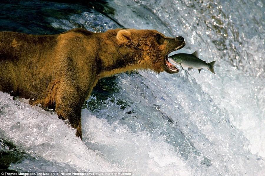 6. Время обедать. Челюсти медведя сомкнулись через долю секунды после того, как фотографу Томасу Мен