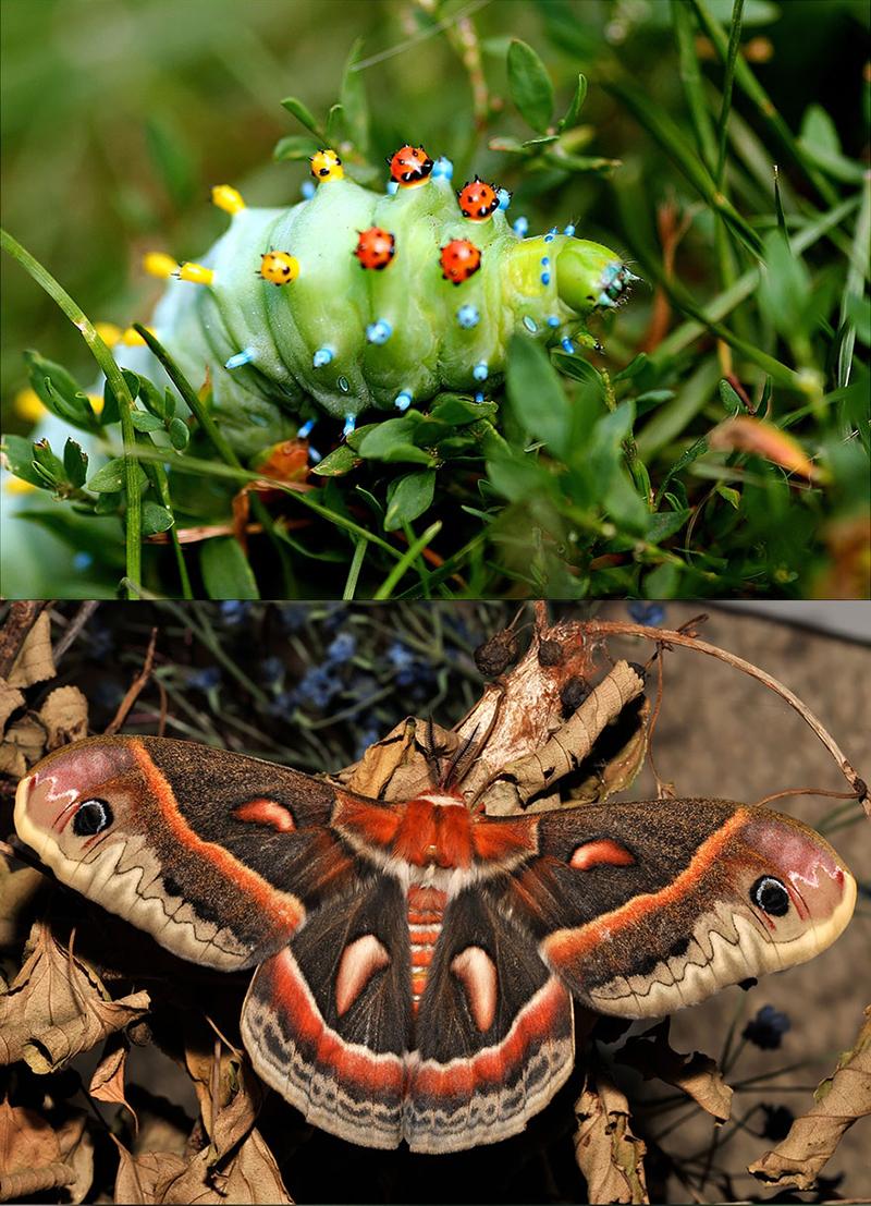 Бабочка Фланель (Megalopyge opercularis)