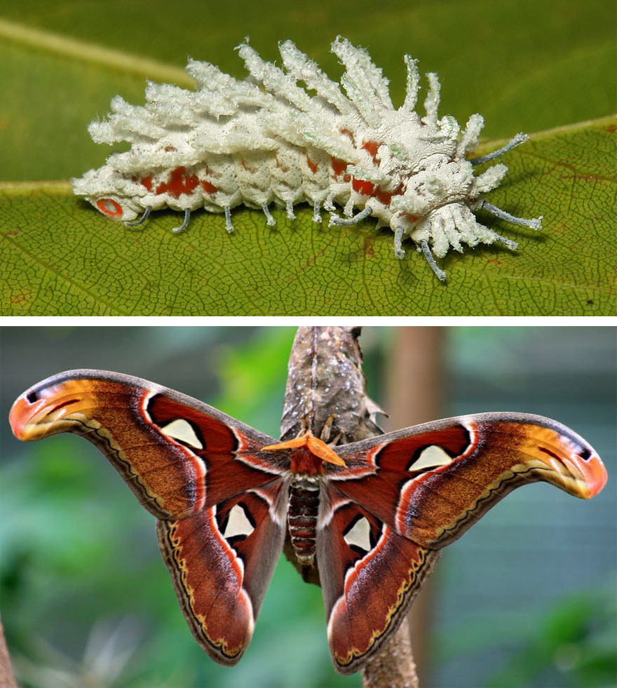 Крылатая бабочка Стекло (Greta oto)